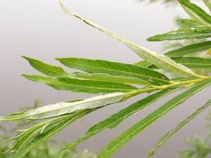 ивушка зелёная