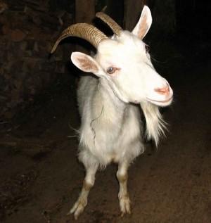 козонька коза