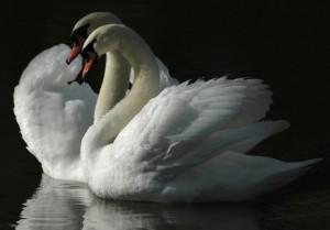 Плывёт стадо лебединое