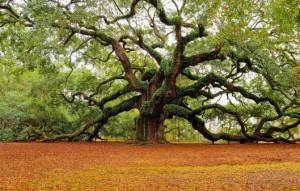 загадки дуб