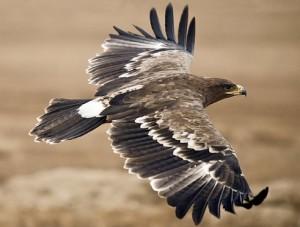 Песня - Орёл сизокрылый
